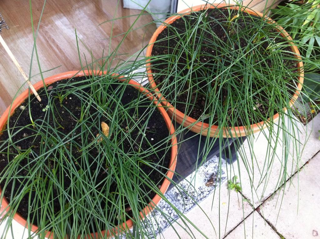 Non-flowering Saffron Crocus