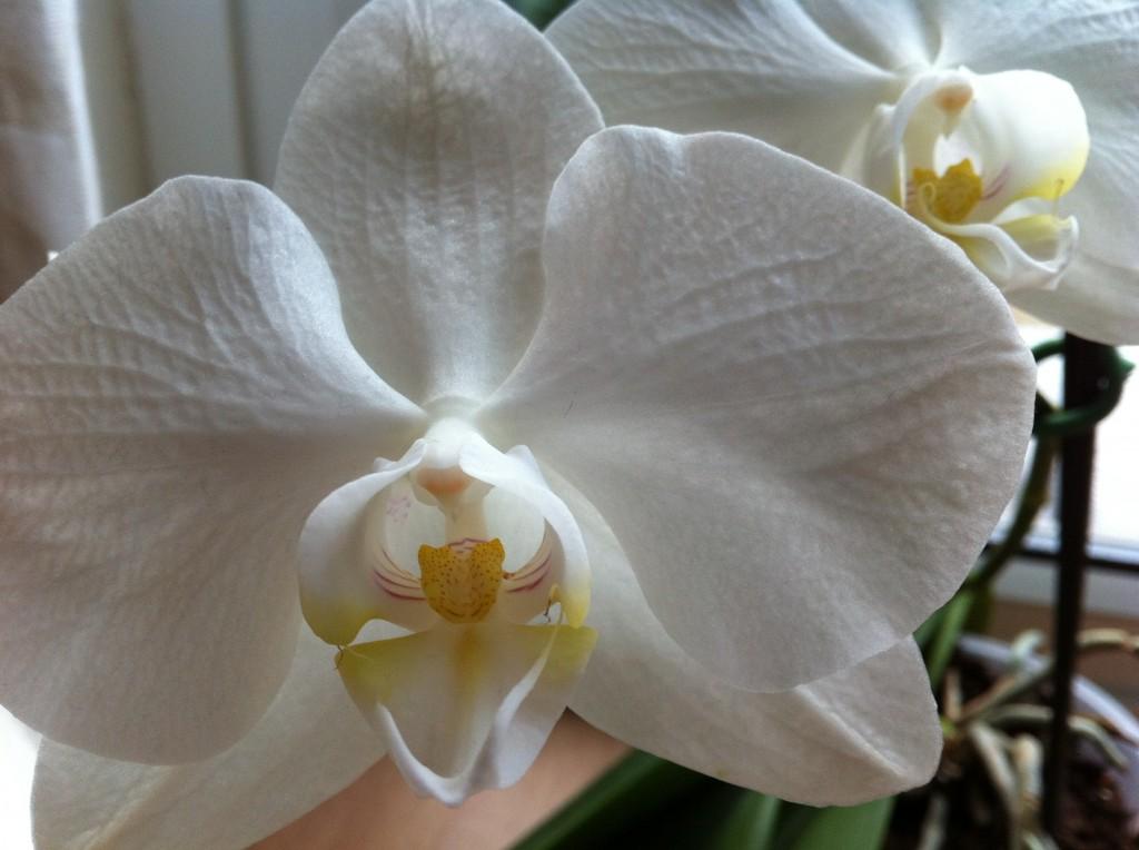 white orchid  u2013 sunil u0026 39 s garden
