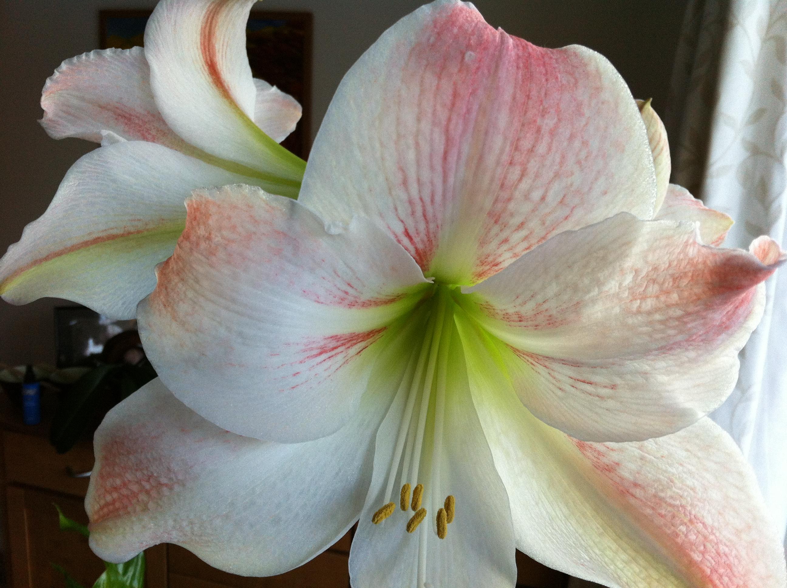 Amaryllis Flowers – Sunil s Garden