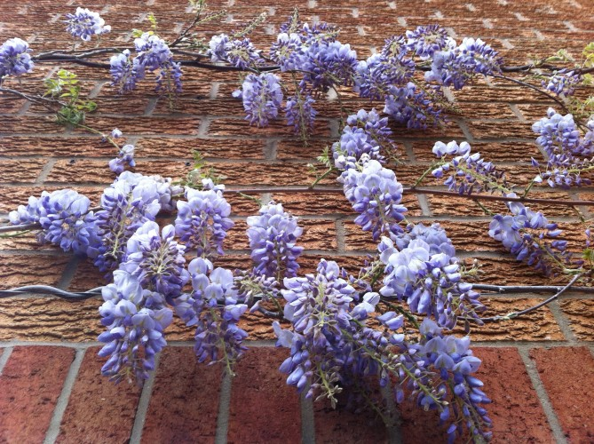 My Beautiful Young Wisteria