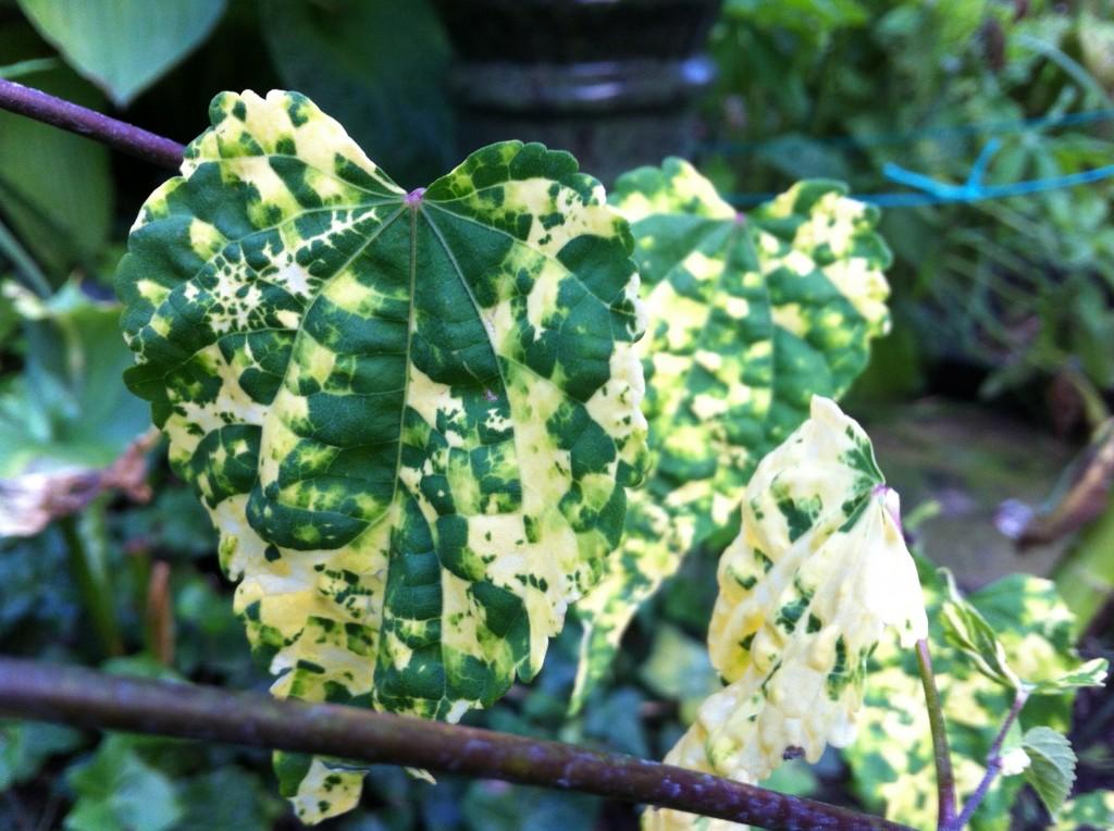 abutilon megapotamicum  u2013 sunil u0026 39 s garden