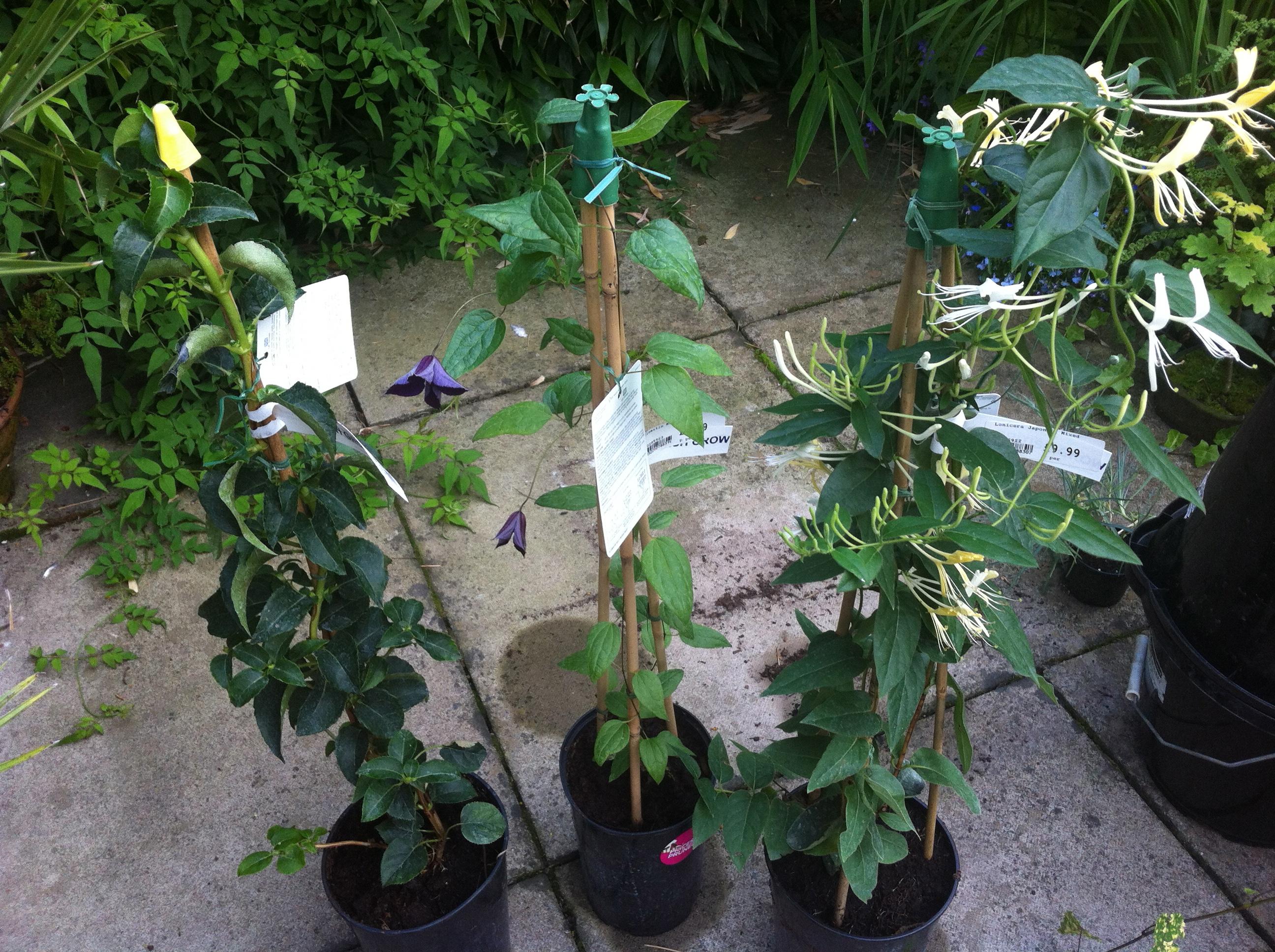 Landscaping With Climbing Plants : Three climbing plants sunil s garden