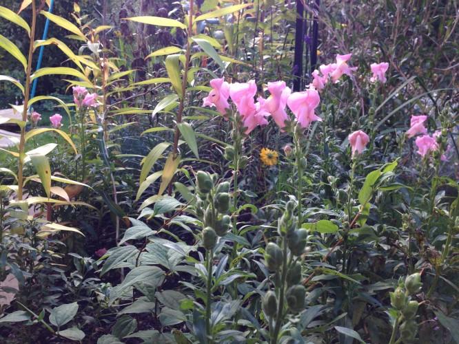 Despairing Gardener, Failed Snapdragon