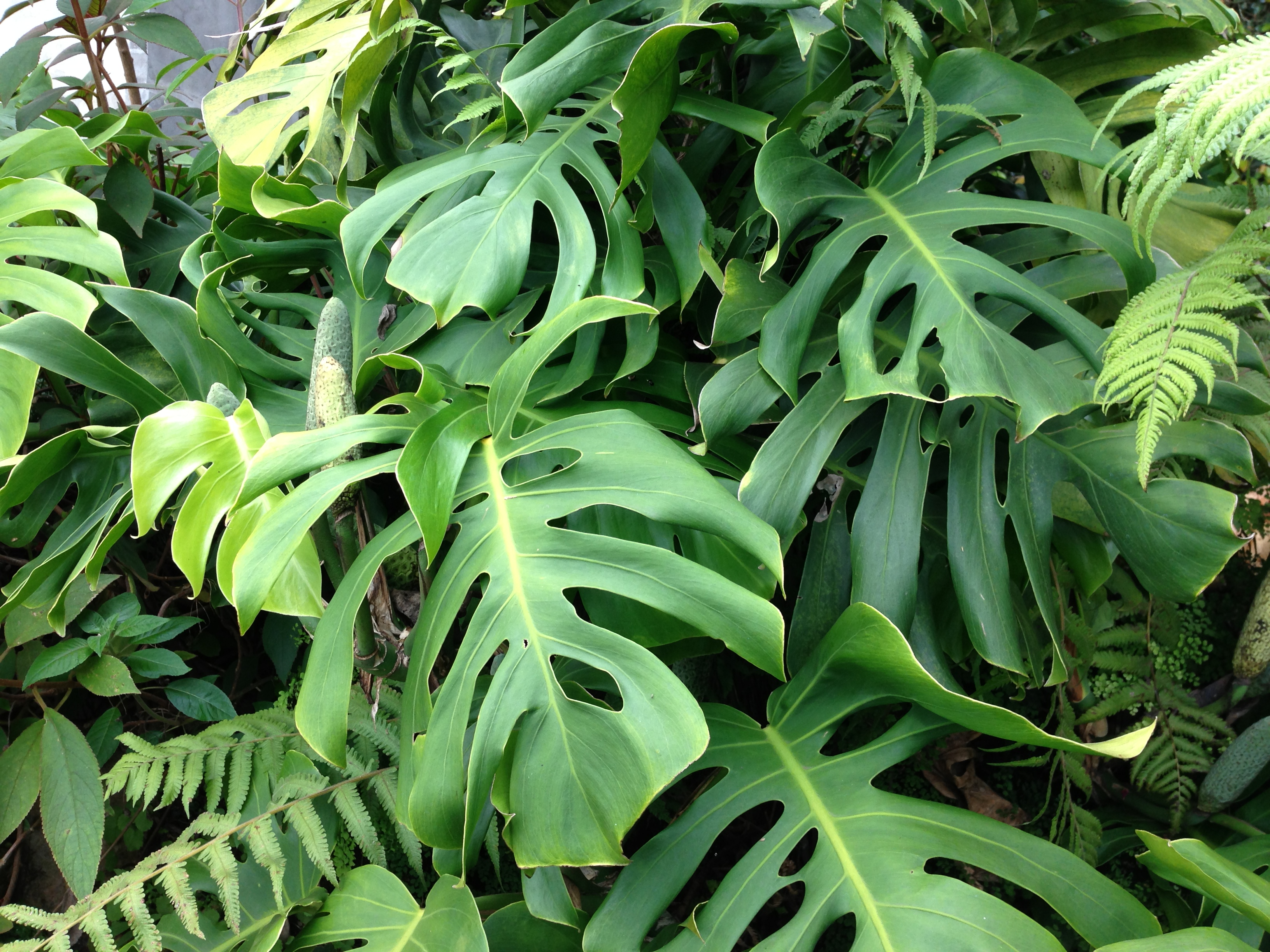 Swiss cheese leaves sunil 39 s garden for Garden plants names and pictures