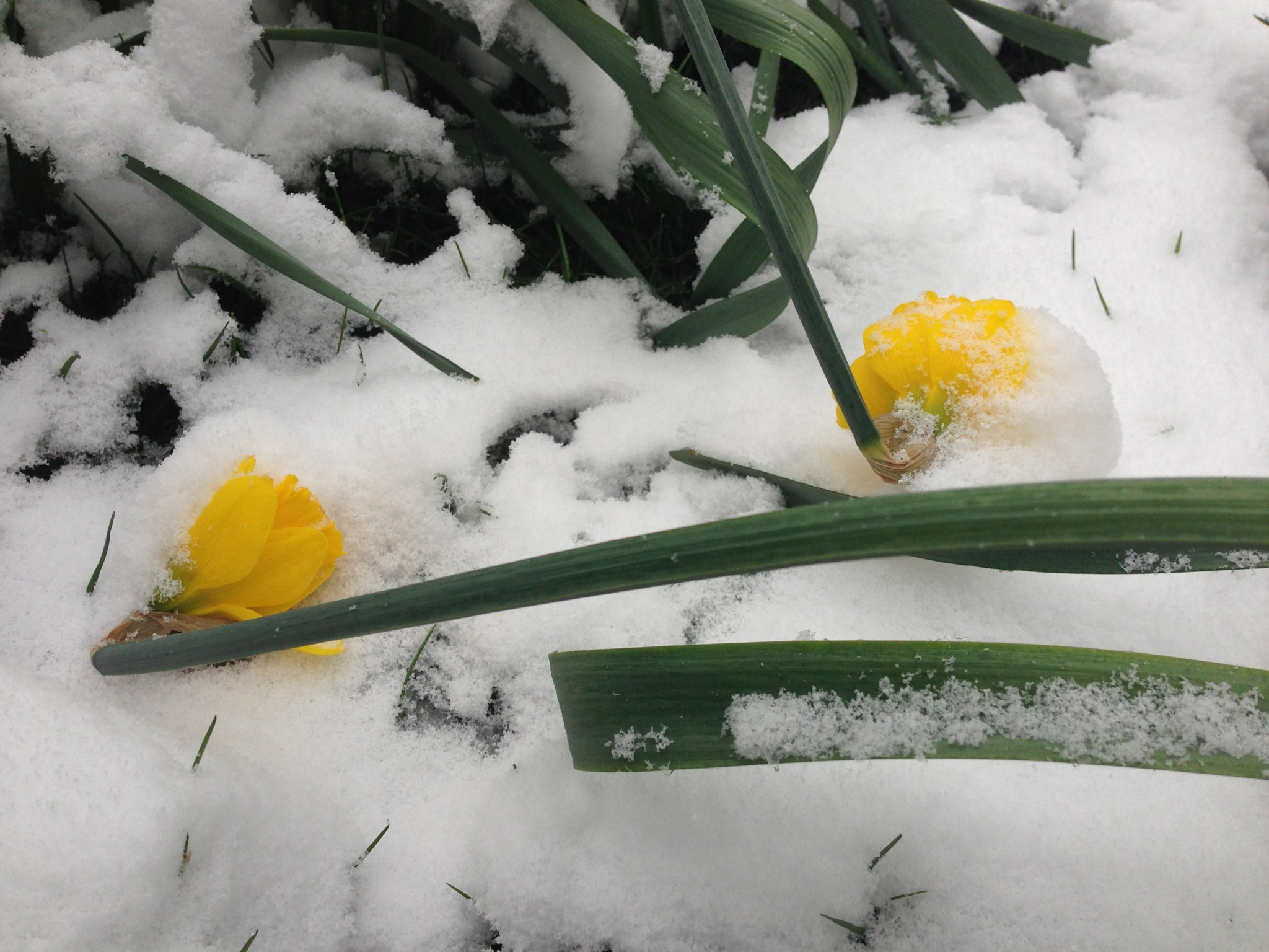 Frozen Daffodils