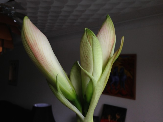 April Amaryllis
