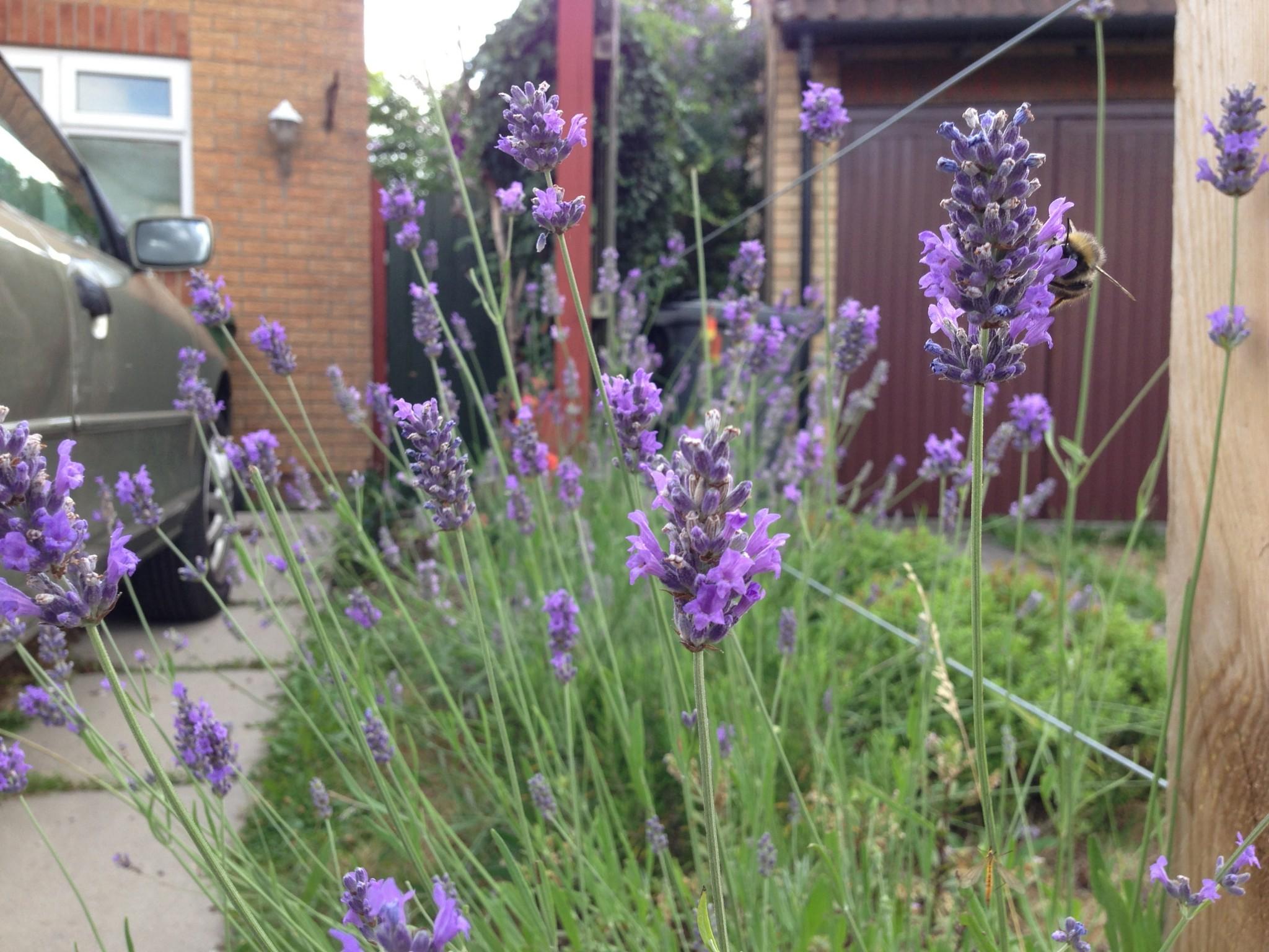 Driveway Lavender Hedge