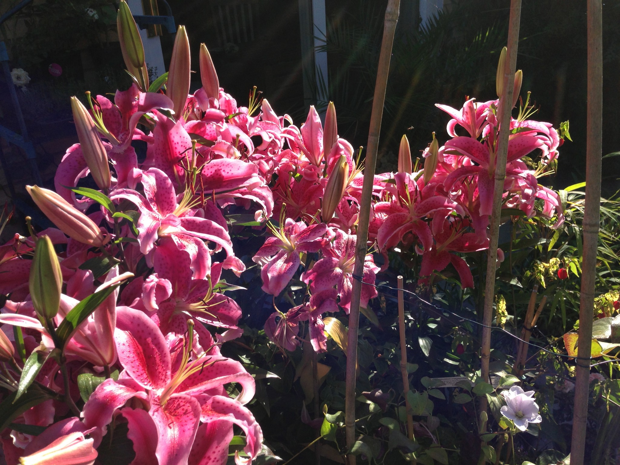 Stargazer Lilies in full flower