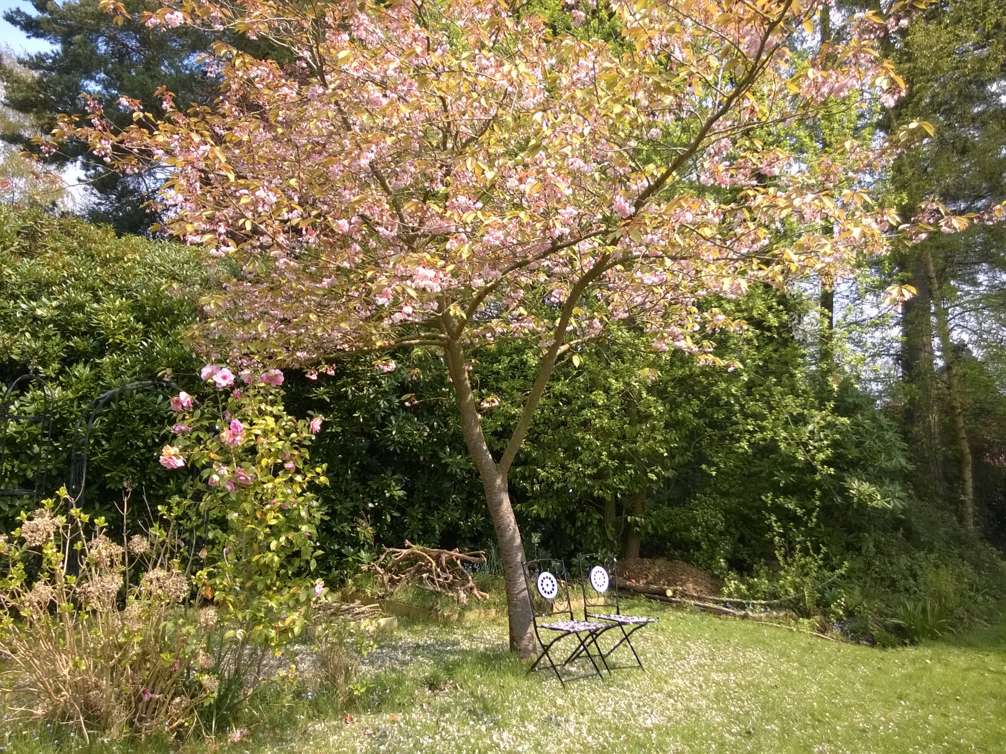 Chairs under the Ornamental Cherry Blossom