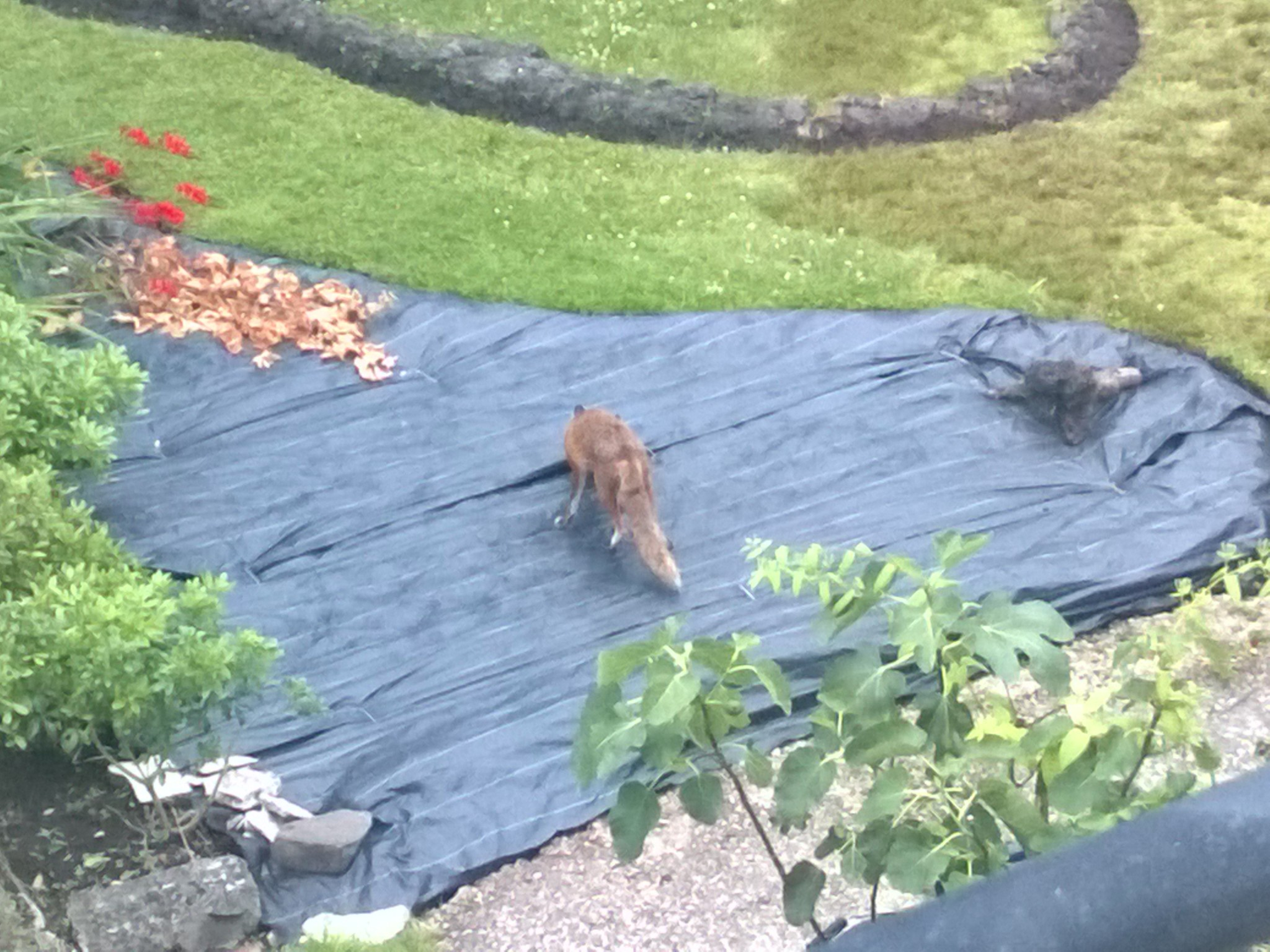 Fox searching for food