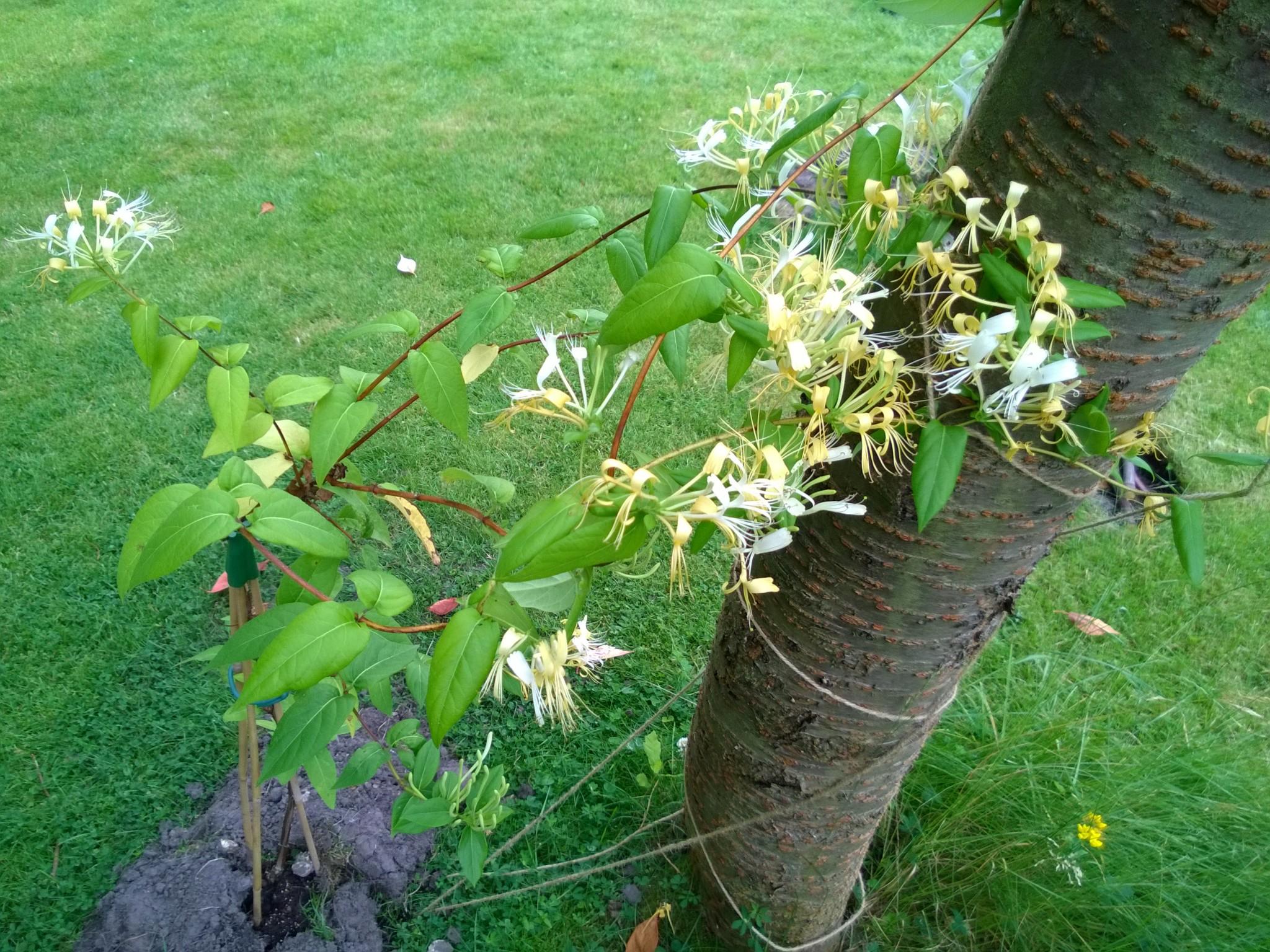 Newly Planted Honeysuckle