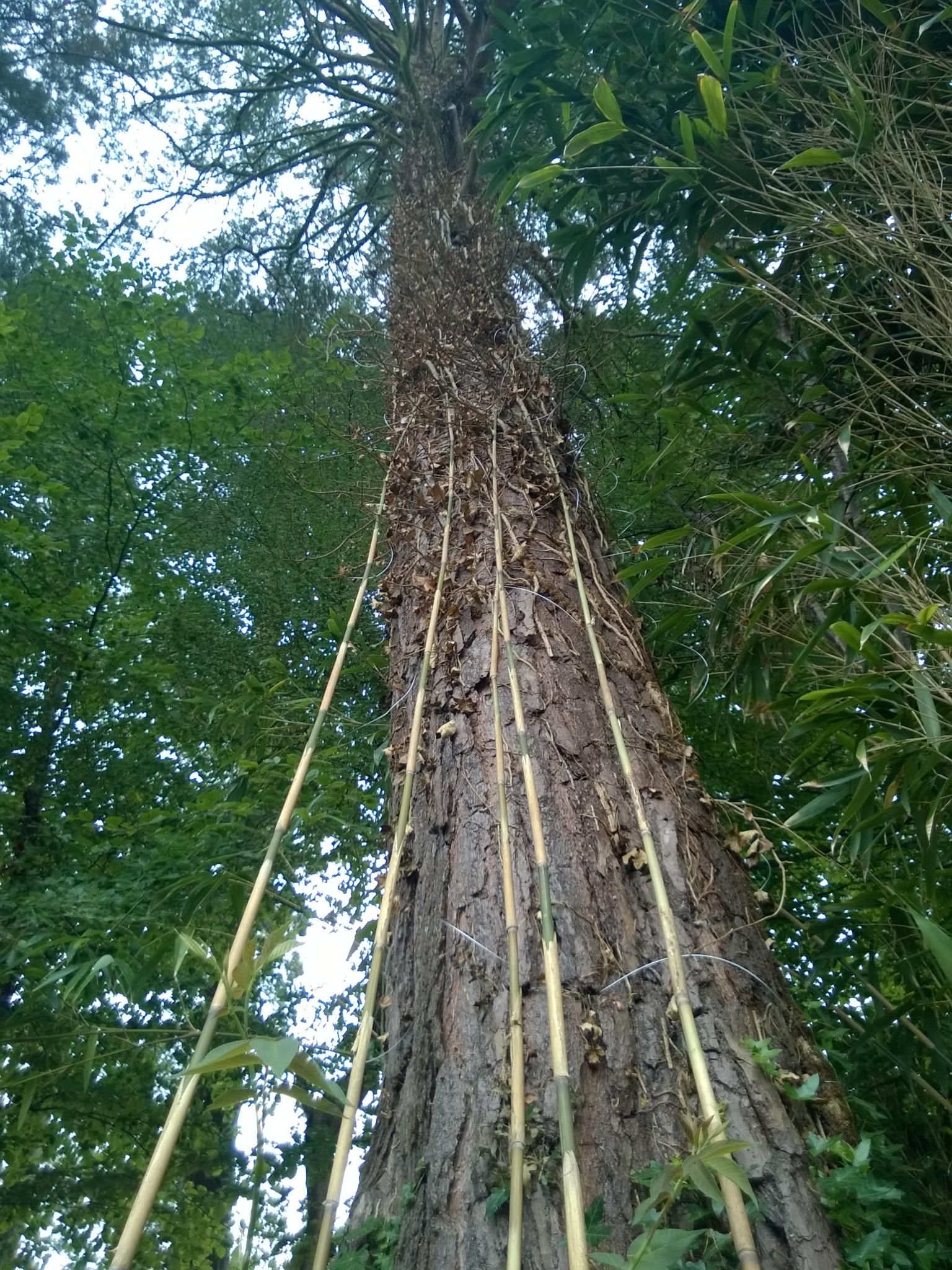 Prepared Scots Pine for Rose