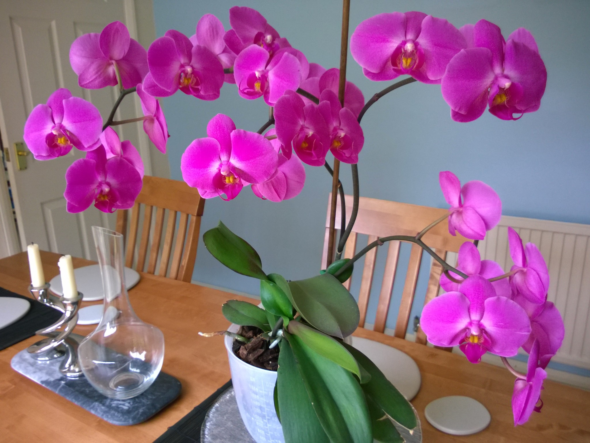 Orchid with four flower spikes