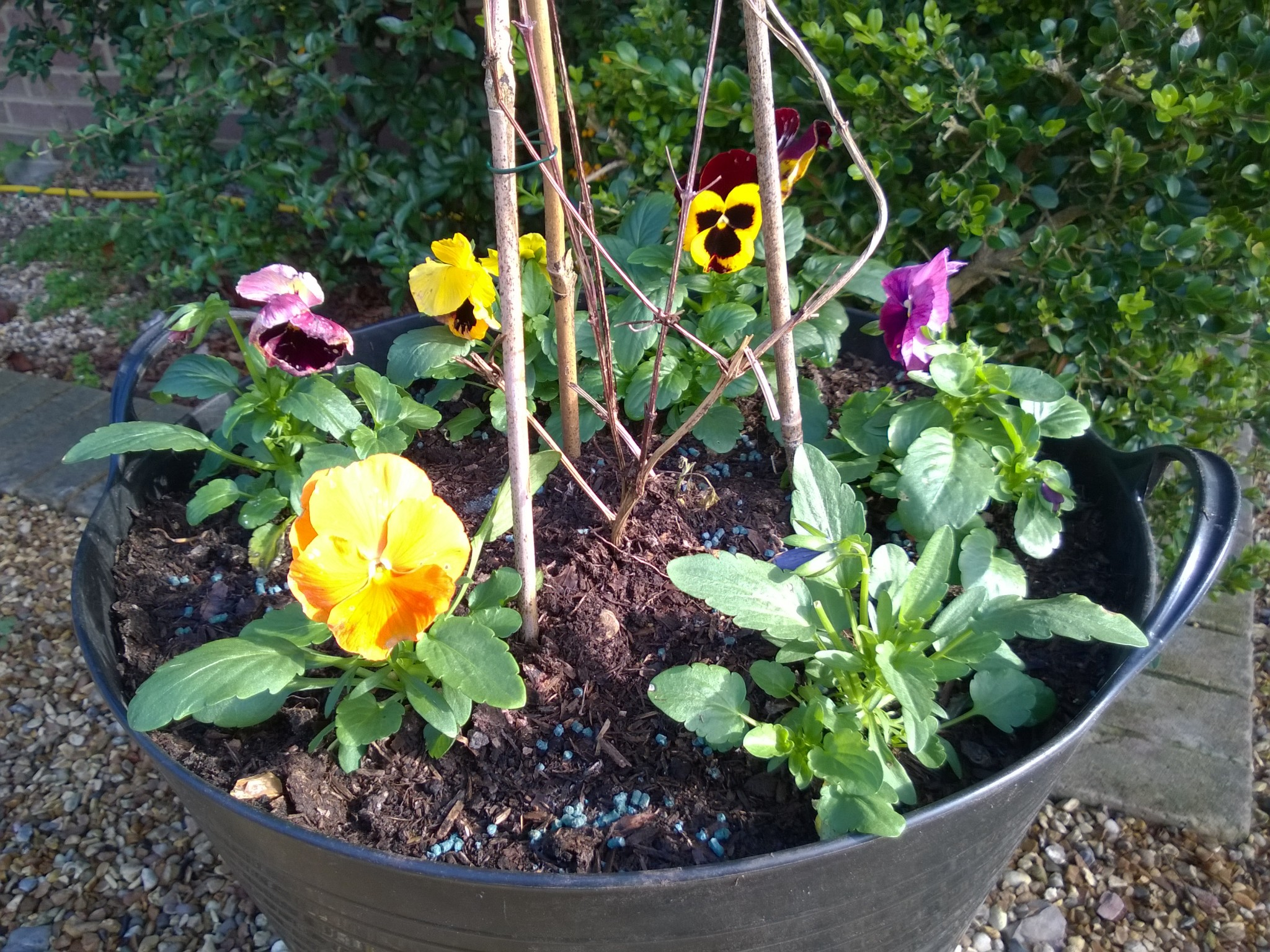 Trug of Winter Pansies