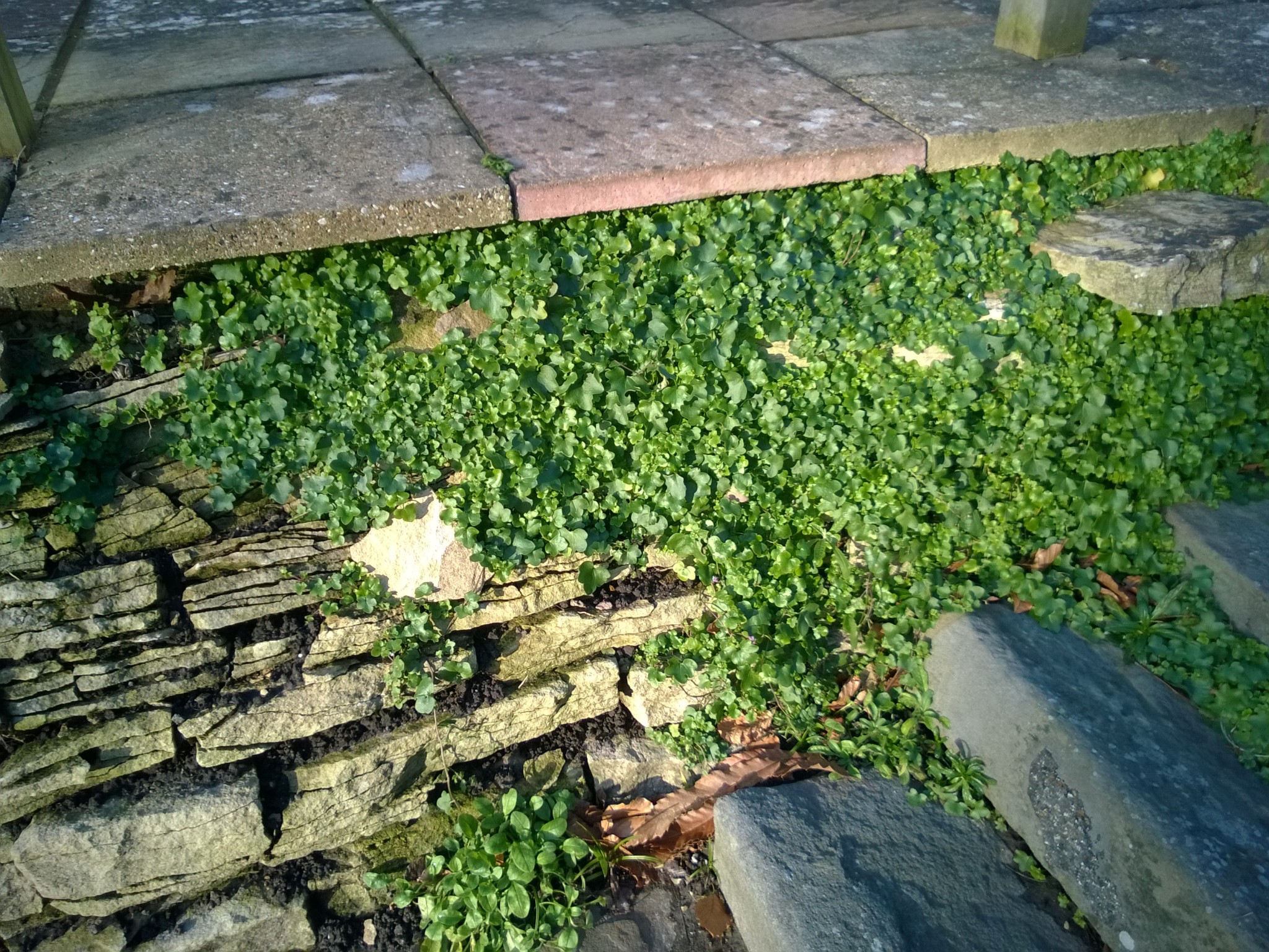 Ivy-Leaved Toadflax Taking Over