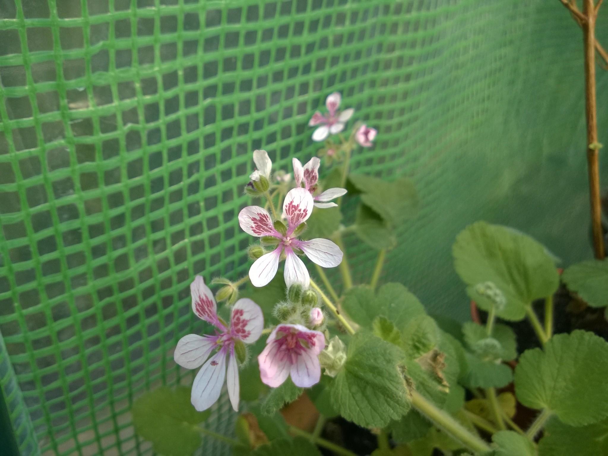 Europium Flowering in the Winter