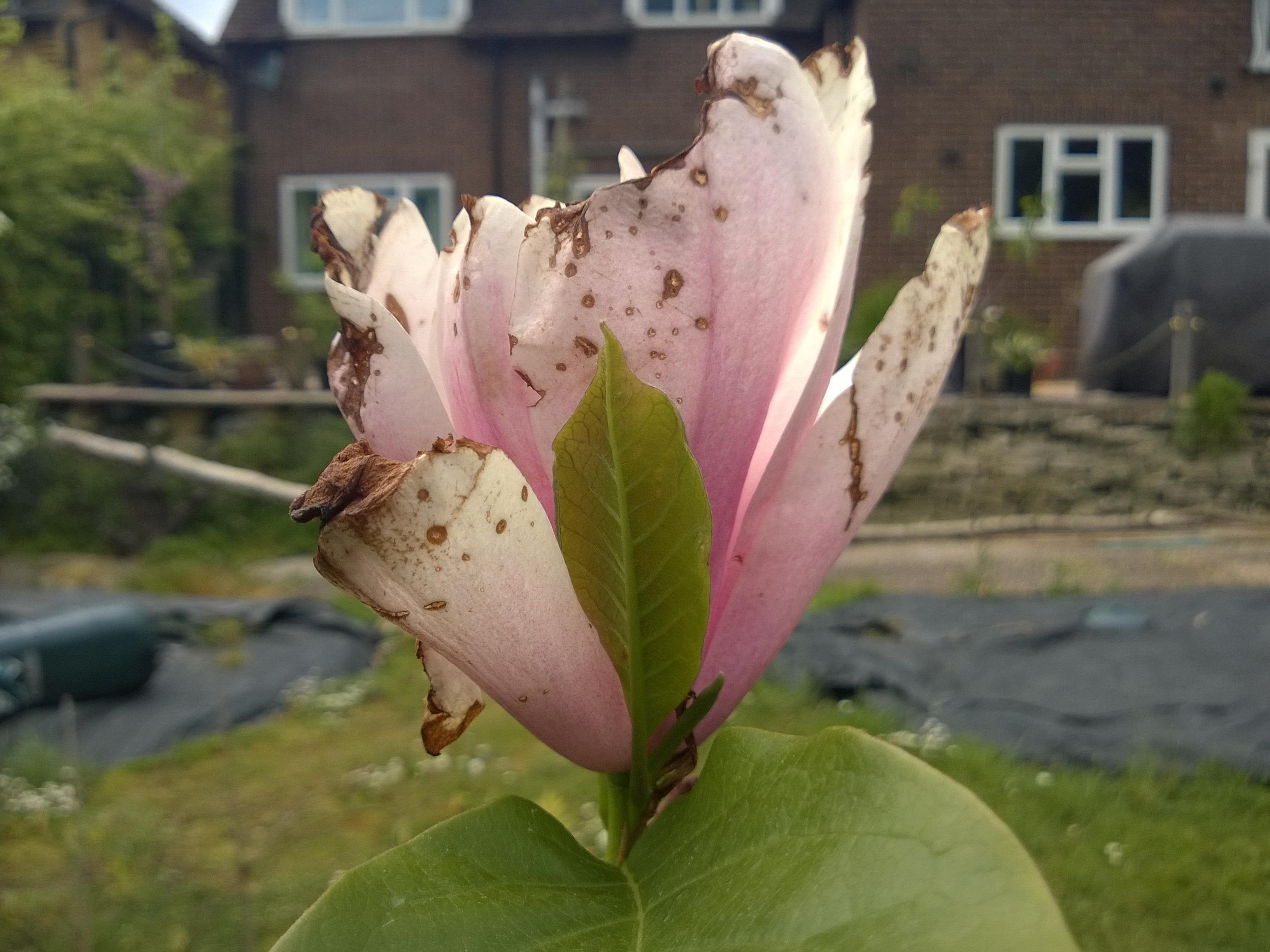 Battered Magnolia Flower