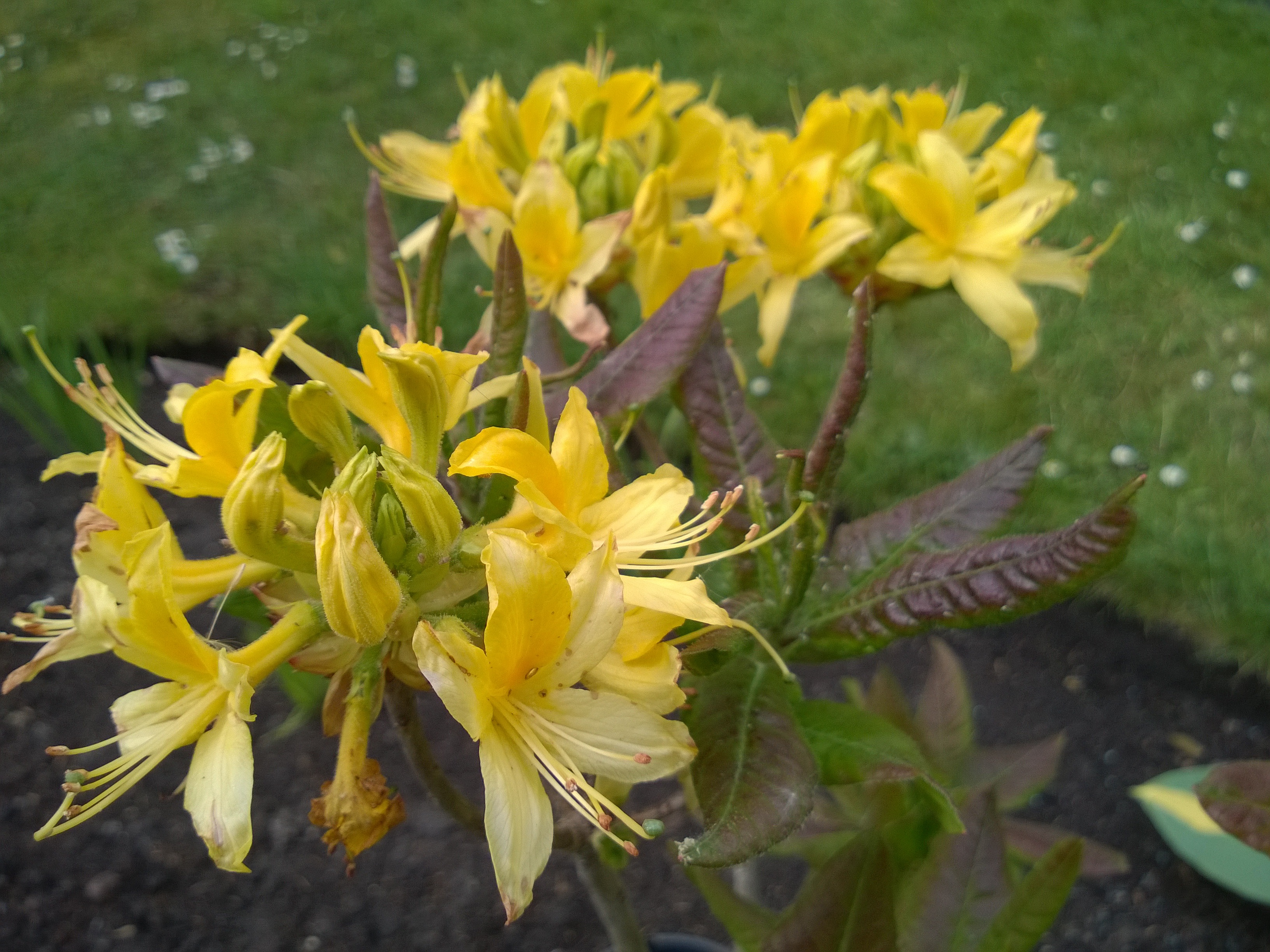 "Rhododendron ""Luteum"""