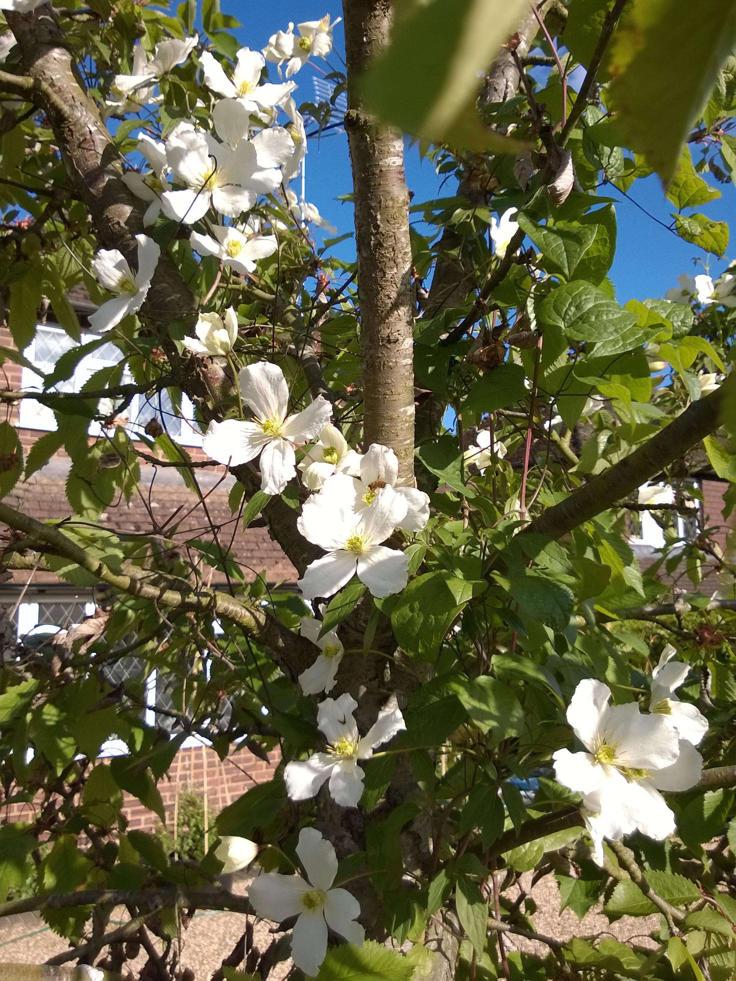 Clematis Montana Wilsonii in Flower