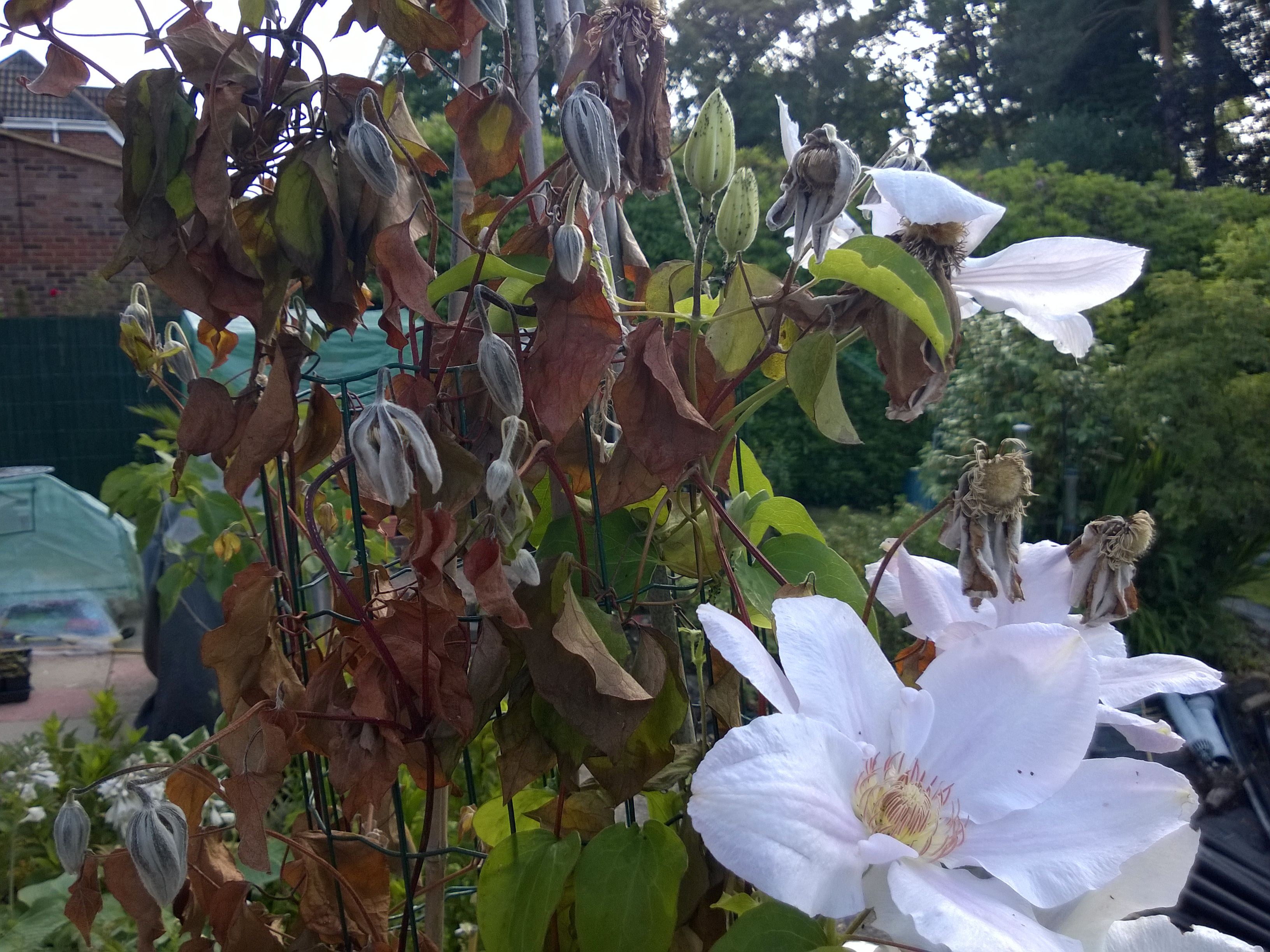 Clematis Wilt on Clematis Chantilly