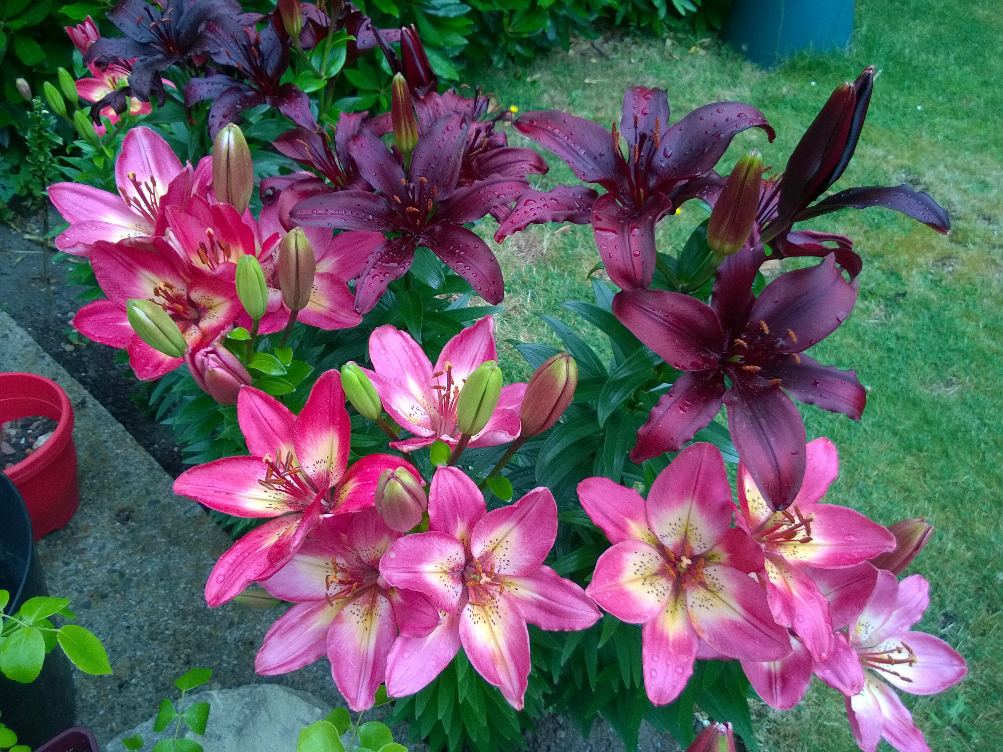 Mixed Lilies in Flower