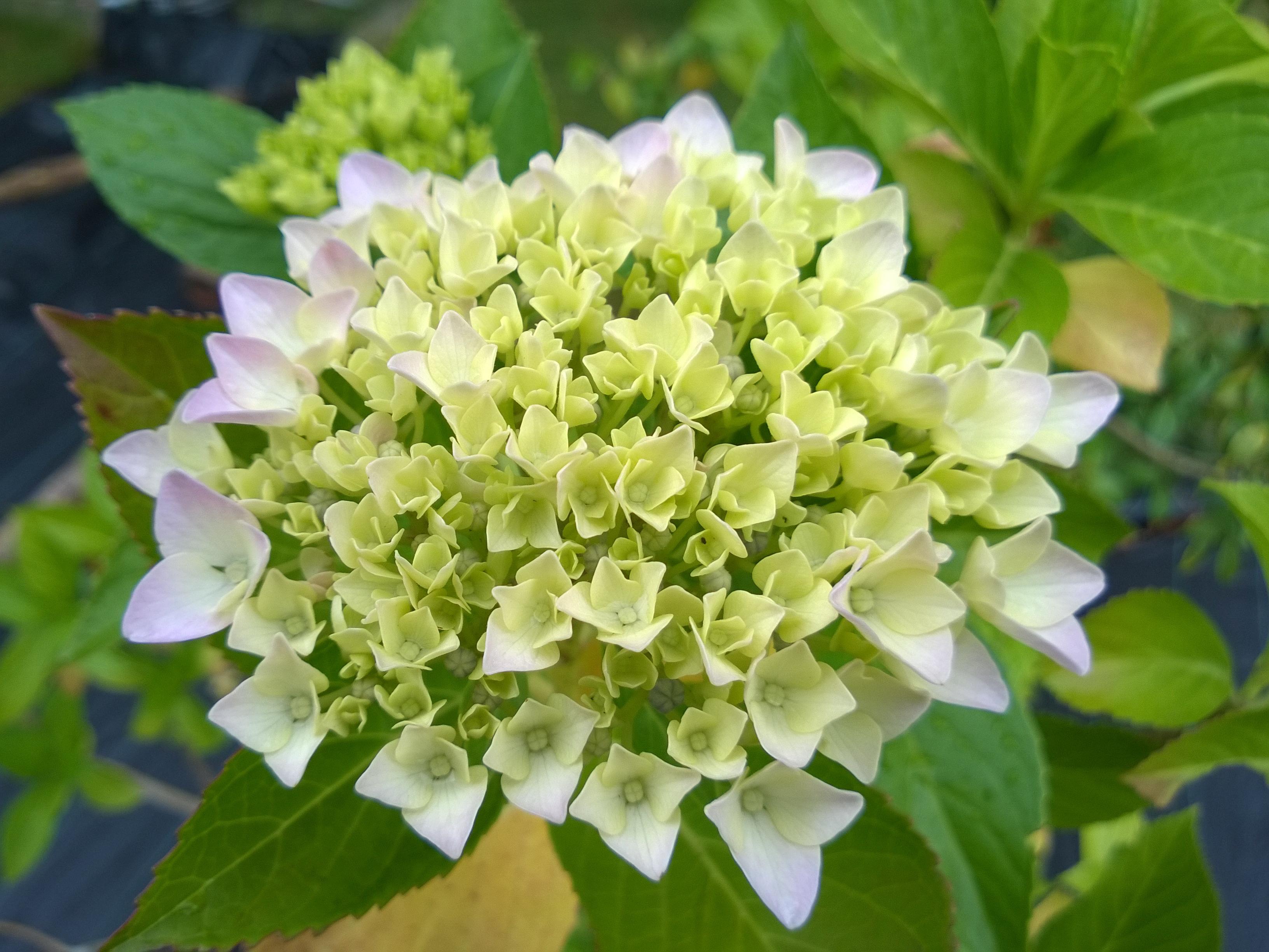 Early Hydrangea Flowers