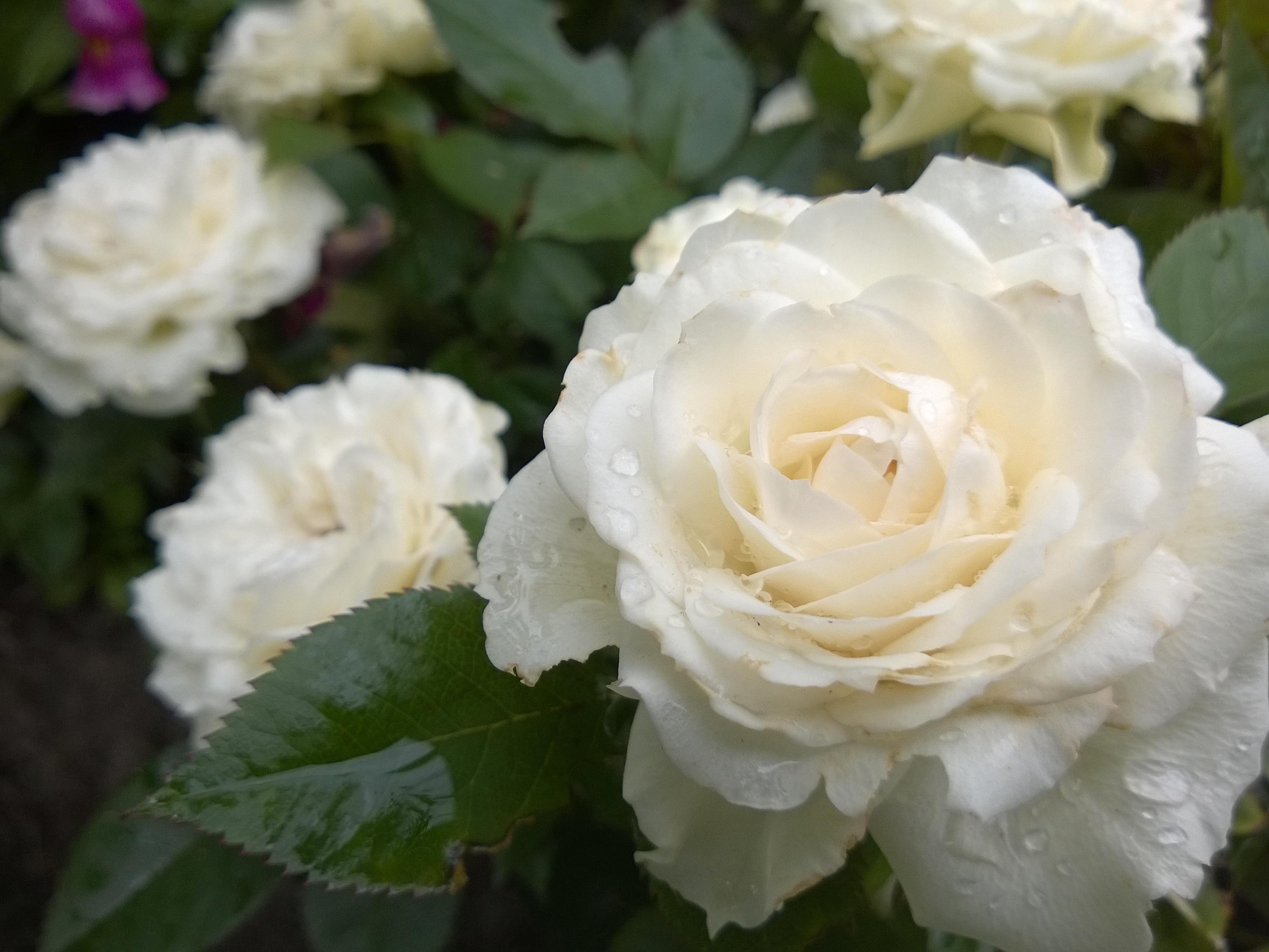Miniature Patio Rose in a Border