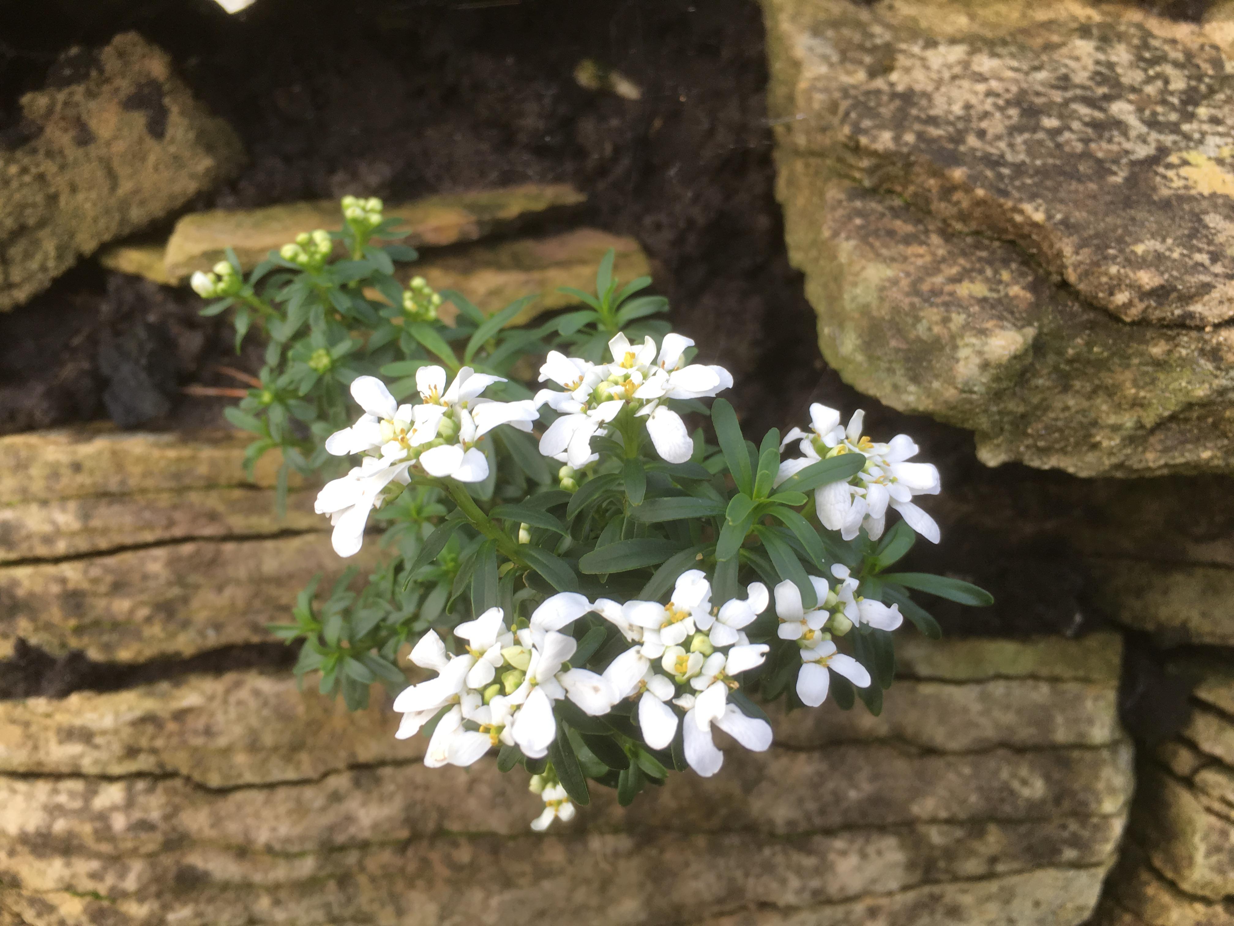 Candytuft Flowering in Winter