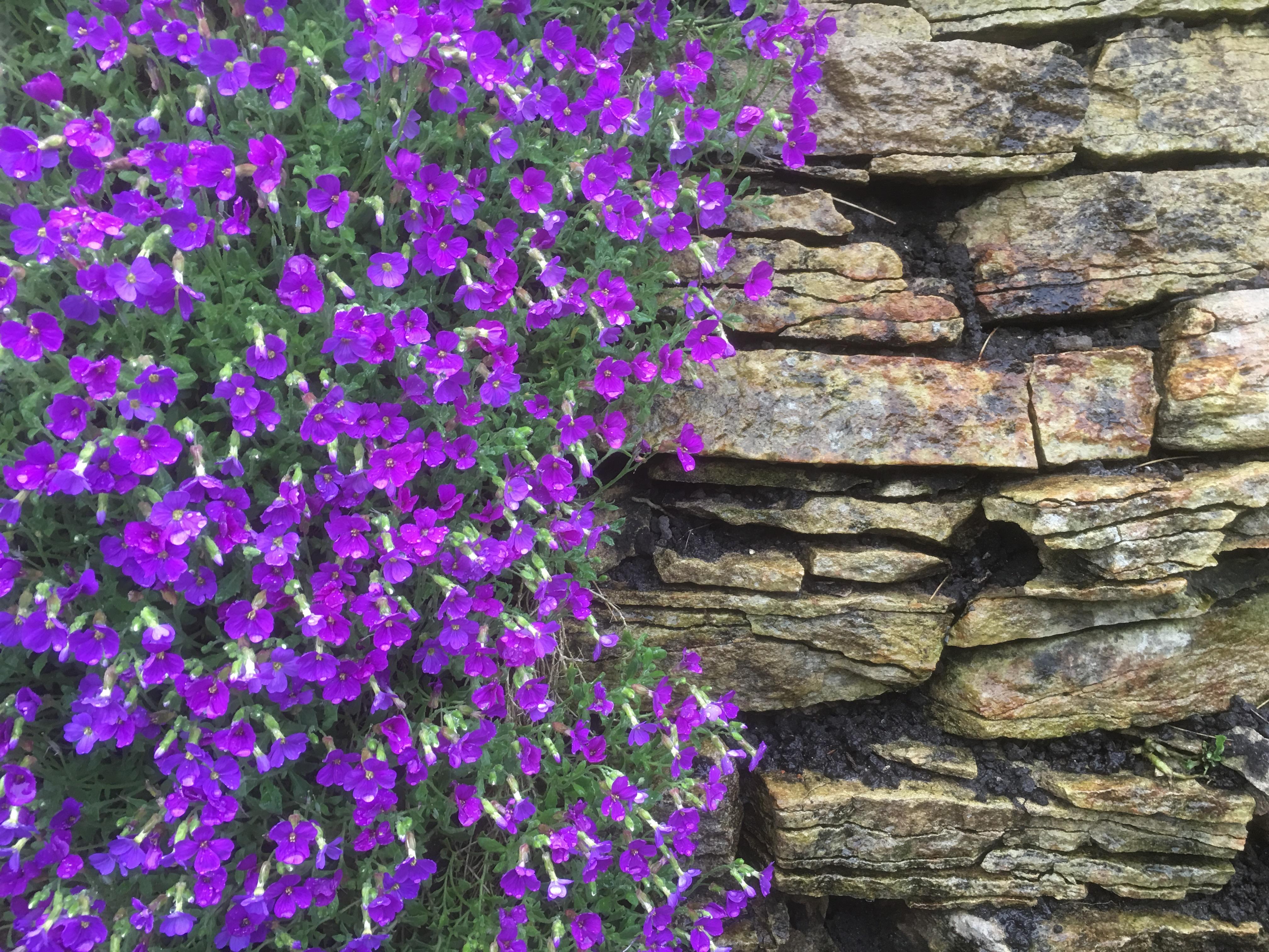 Aubretia on the Patio Wall