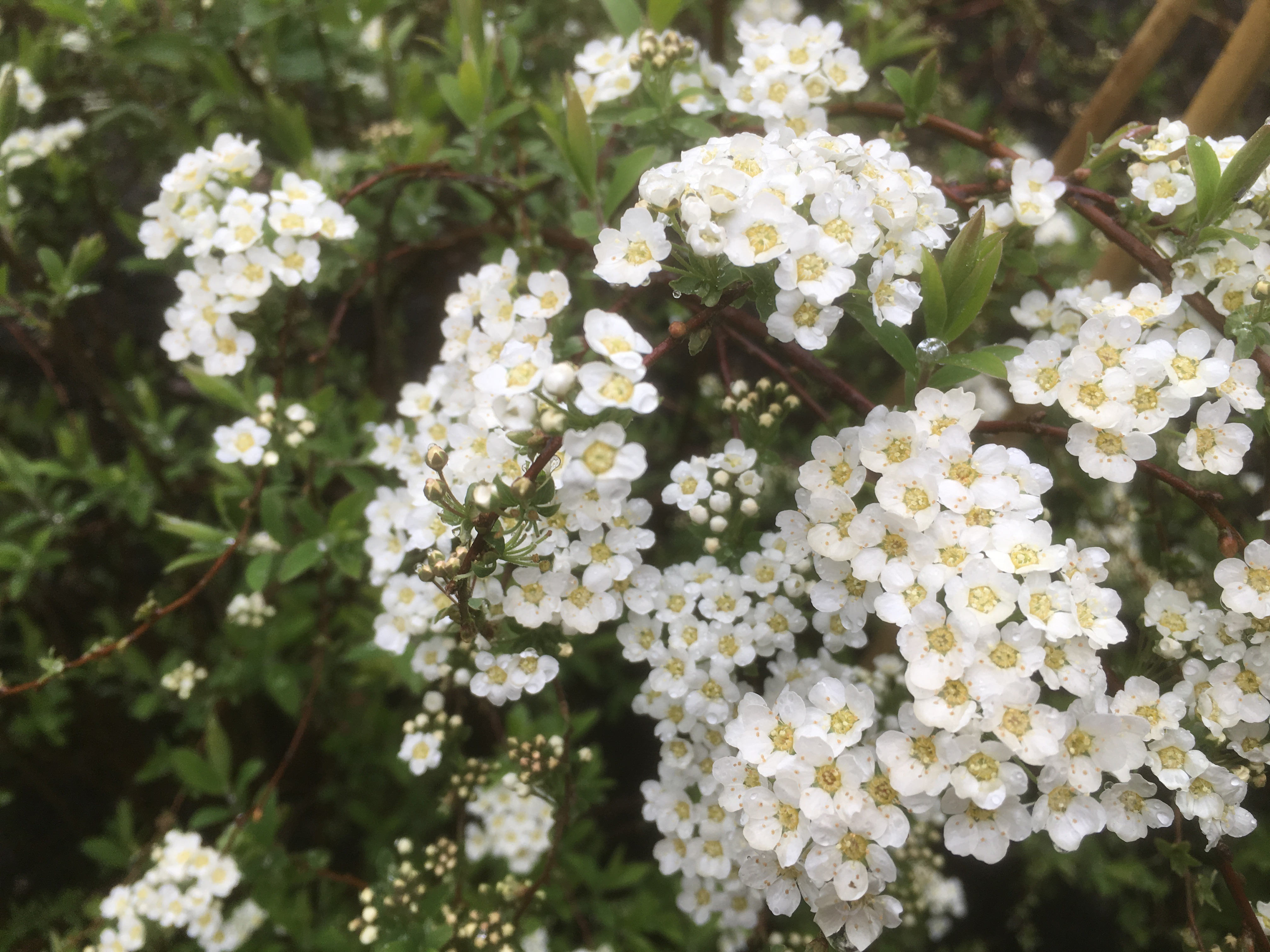 Replacement Spiraea x Confusa